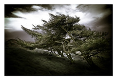 Trees in the wind II, Lomond Hills