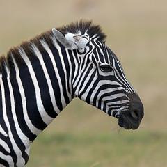 Innocent Stripes (MAC's Wild Pixels) Tags: kenya zebra striped masaimara autofocus naturesfinest specanimal goldwildlife naturesgreenpeace mygearandme ringexcellence dblringexcellence allnaturesparadise amazingwildlifephotography allofnatureswildlifelevel1 allofnatureswildlifelevel2 allofnatureswildlifelevel3 allofnatureswildlifelevel4 allofnatureswildlifelevel5 canoneos5dmkiii top25naturesbeauty macswildpixels