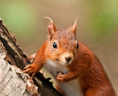 Cheeky Tufty!!   (Red Squirrel) (marsch1962) Tags: nuts cheeky whiskers tufts nationalgeographic tufty redsquirrel