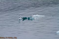 IMG_6348.jpg (MonkeySeeMonkeySnap) Tags: old blue cold ice nature water alaska boat ancient ak glacier seward aialik