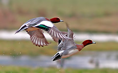 """wigeon (anas penelope) ("""" yer tis my ansome """") Tags: water canon ducks 7d waterbirds pictues wigeon powderham exminster mygearandme mygearandmepremium picturestakenwithcanon7d"""