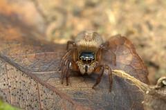 Jumping spider 0635 (jack_246) Tags: spider jumping animalia arthropoda arachnida araneae salticidae araneomorphae entelegynae taxonomy:family=salticidae