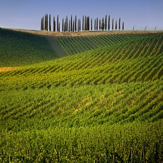 Travel through the Tuscany landscape of cypress-dotted hills (Bn) Tags: red summer italy sun sunlight holiday colour tree green colors leaves florence oak topf50 cherries strada italia berries estate bright wine barrels small hill grow dry visit hills vineyards tuscany grapes chianti fields strong farms cypress wildflowers siena taste roads radda product toscane region topf100 plums fruity cypresses greve produced rubby vino italians flourish discover vinyards wijn casale bottling sangiovese cellars dello cultivated classico castellina hillsides harmonious castellinainchianti 100faves 50faves sparviero