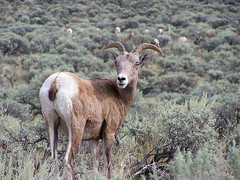Mountain Sheep (imageseekertoo (Wendy Elliott)) Tags: mountain sheep natural bighorn setting