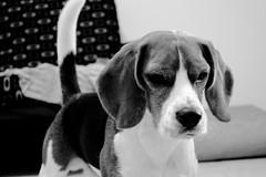 ringo (martin chinni) Tags: dog blanco beagle argentina iso800 buenosaires nikon atack martin 14 negro can perro 55mm vista f56 mirada ataque chinni preparado d3100 nikond3100 chinnimartin