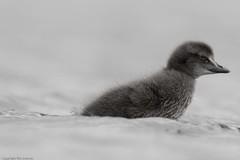 Eider (Somateria mollissima) 26 Jun-12-45114 (tim stenton www.TimtheWhale.com) Tags: bird islands scotland tim duck chick shetland eider unst eiderduck somateriamollissima shetlandisles haroldswick timstenton