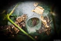In to the spiders den (JSB PHOTOGRAPHS) Tags: macro rose oregon garden nikon bokeh spiders web den d2x eugene micro owen 60mm nikkor f28 in d2x1451