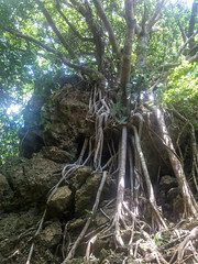 Tall roots (arkeldiary) Tags: canon g16 eos 100d mountains forests trees nature sky landscape coast sea sand beaches clouds sunrise wildlife insects butterflies corals reefs rocks waves horizons seascapes coastallandscapes explore exploration travel
