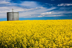Canola Fields Forever (stevenbulman44) Tags: canola canon 2470f28l summer yellow blue cloud white container lseries polarizer alberta canada sky landscape outdoor farm land