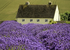 Cotswold Lavender (NiiiiiJ) Tags: lavender lavenderfields snowshilllavenderfarm purple british countryside beautiful scenes cottages englishcottages englishgardens niiiiij nigelstewartphotographycom