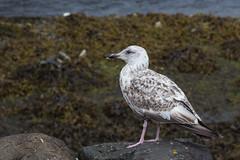 Juv Herring Gull-0265 (WendyCoops224) Tags: canon eos gull isleofmull juvenile herring 600d 24105mml ©wendycooper