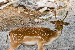 Le Daim (thanh_geneva) Tags: parc park parcomega ontario canada nature animal fort forest