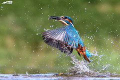Emerging (birdtracker) Tags: kingfisher fishing water flying splash markmedcalf markmedcalfphotography wildlife nature