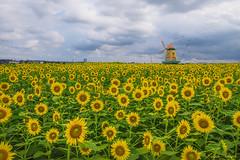 Sunflowers Galore (muuu34) Tags: sunflowers field cloudy sky windmill summer vibe outdoors landscape flowers zama city kanagawa japan photoshop composite manipulation photo art artistic creation                    musashi sakazaki