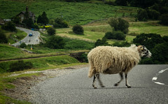 On the Move (steelegbr) Tags: goathland northyorkshiremoors yorkshire animal country countryside focus fuzz grass green hills house movement outoffocus outdoors road rural screwup sheep summer wool