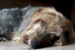 Herman (Immature Animals) Tags: herman yorkie yorkshire silky terrier mix mutt old man doggy canine natural light
