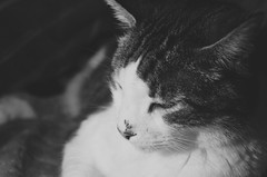 Untitled (Captured by AMK) Tags: cat cats feline felines blackandwhite pets petphotography project365