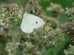 Cabbage White butterfly (JJP in CRW) Tags: iowa leclaire mississippiriver butterflies insects