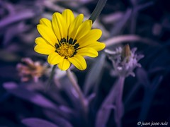 2016-08-24_10-19-59 (rc.juanjo) Tags: flores color colore amarillo magenta bicolor malaga macro colores colors