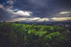Cloudy Wineyards (ChrisTalentfrei) Tags: wideangle ultrawide uww wineyards wine wineyard konika minolta 17mm fullframe sony a7 sonyalpha7 ilce7 clouds sunrays sunbeam beam light summer green august rain dramatic sky 1735mm