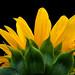 Sun+Flower+-+Fleur+de+soleil