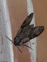 Convolvulus Hawk-moth (Geminiature Nature+Landscape Photography Mallorca) Tags: agriusconvolvuli mallorca moth butterfly mariposa polilla mot vlinder grote grootste biggest big grande mayor enorme nocturna convolvulushawkmoth large esfingedelacorrehuela esfinge windepijlstaart hawkmoth pijlstaarten