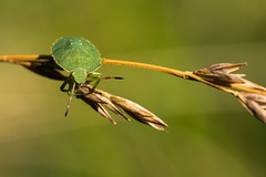 Oh punaise... (regisfiacre) Tags: insecte insect bug bugs larve larva punaise verte palomena prasina green macro canon nature prairie meadow closeup bokeh