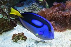 Dory (dotcomdotbr) Tags: peixe sony a77 sal1650 aqurio sao paulo sopaulo azul amarelo coral