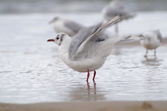 To Fly (alainebarnekow) Tags: usedom summer holiday birds water cloudyday seafowl