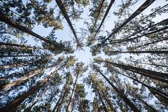 (Sitoo) Tags: bosquepintadodeoma bosque oma esukadi trees woods rboles nadir sky cielo pinos pinetrees wide angle gran angular samyang14mmf28