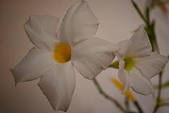 ## (vieubab) Tags: fleurs nature unlimitedphotos sonyflickraward saveearth sony plante ptale lumire macro flowerbeauty