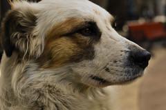DoggyStyle (franciscojavierprezvargas) Tags: animales animals dog perro naturaleza nature monocromo golden nikon nikonchile chile decay