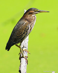 Green Heron, Juvenile (RKop) Tags: a77mk2 600mmf4apogminolta raphaelkopanphotography eastforklake ohio
