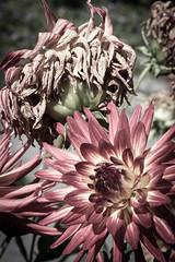 Life and Death (kristin.mockenhaupt) Tags: nature natur wiese meadow frhling sommer summer spring springtime flower blume dahlie dahlia makro macro bloom blte welk wilted