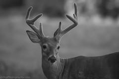 7D2_0348-Edit (Bob Gilley) Tags: white tail deer buck easternnecknationalwildliferefuge maryland