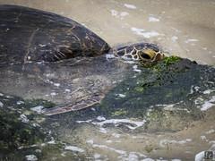 Turtle Feeding, Laniakea Beach (lycheng99) Tags: laniakeabeach beach water ocean hawaii oahu turtle seaweed feeding animals wildlife turtlebeach northshore honolulu swim sea