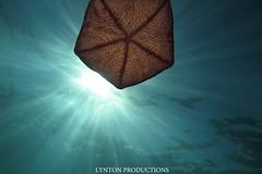 IMG_0039 copy (Aaron Lynton) Tags: lyntonproductions tako honu turtle hawaii maui underwater canon g1x spotted eagle ray octopus sea star
