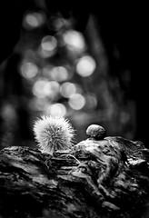 Aspettando l'autunno....... (gramilu) Tags: canon7d raw biancoenero autunno sole blackandwhite bosco castagne