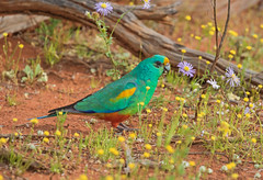 Mulga Parrot (christinaportphotography) Tags: mulgaparrot psephotusvarius parrot lakecargelligo nsw australia bird birds wild free colour green red yellow beautiful flowers munching male