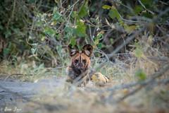 DT-165 (Photography by Brian Lauer) Tags: botswana dumatau africa safari safaris wildlife travel nikonphotography nikon lion elephant hippo fisheagle saddlebilledstork piedkingfisher lilacbreastedroller wilddog