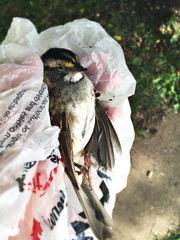A sad end to a short life (bratli) Tags: bird whitethroatedsparrow death