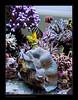 STETderasa7432_160616 (kactusficus) Tags: marine aquarium reef tank home coral tridacna derasa clam benitier