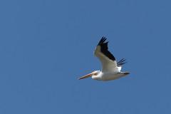 DSC_0257.jpg American White Pelican, Struve Slough (ldjaffe) Tags: americanwhitepelican struveslough