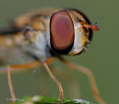 DSC_7890 (Paul Rayney) Tags: hoverfly fly insect compound eye close up macro nikond7100sigma105