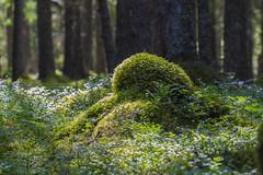 Into the woods (Trond Sollihaug) Tags: wood moss mose skog langstein trøndelag