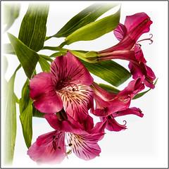 20160924_4016ACS (willcsw) Tags: astromeria pink flower stilllife