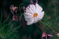 _DSC0261-Modifier.jpg (xpressx) Tags: bokeh 50mm nikon flowers passionphotonikon fleurs nd4 18 parc photographe lightroom nikond5000 nd8 nikkor flore d5000