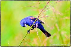 Blue grosbeak (male) (RKop) Tags: a77mk2 600mmf4apogminolta armlederpark cincinnati ohio raphaelkopanphotography sony