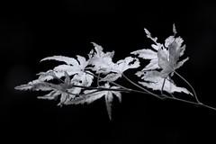 Acer Leaves (jammie_jamie) Tags: black white leaves acer stunning macro