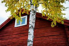 Autumn colours, stersund, September 20, 2016 (Ulf Bodin) Tags: hst jamtli sverige birch logcabin old jmtlandstersund canoneos5dsr sweden canonef35mmf14liiusm gammalt timradehus autumn autumncolours stersund jmtlandsln se outdoor